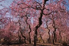 春薫いなべ梅林 5