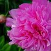 我が家の花 シャクヤク
