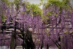 在士八幡神社紫藤樹 6