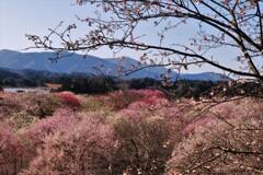 春薫いなべ梅林 3