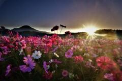 コスモス畑の朝景 5