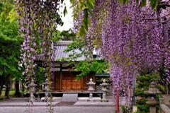 在士八幡神社紫藤樹 3