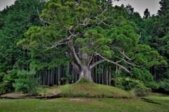 岩尾池の杉 2