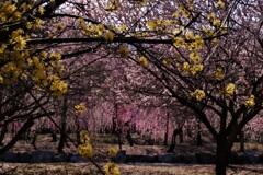 春薫いなべ梅林 6
