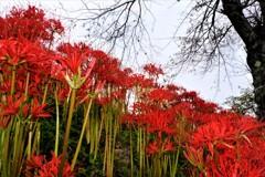 赤い花・天上の花