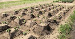 サツマイモのピラミッド式栽培方法