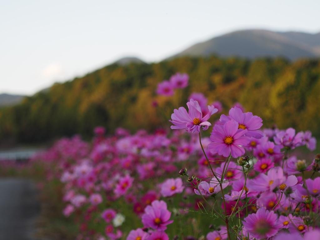 土手沿いに咲くコスモス