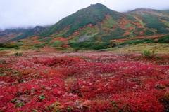 秋のチングルマ
