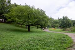 散歩道にある大きな木