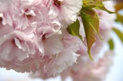 八重の花束(2)