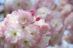 八重の花束