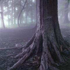 霧中の樹木