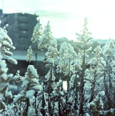 セイタカアワダチソウの雪化粧