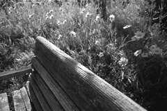 オオキンケイギクのベンチ