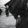 水面に突き出た呼吸根(気根)