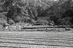 茶畑と藁ぶき屋根