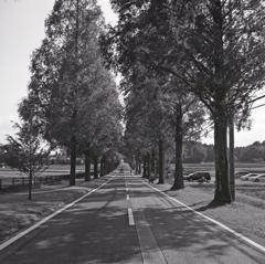 マキノのメタセコイアの道