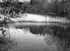 葦のある風景