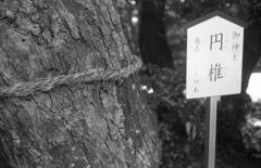 白山神社ご神木