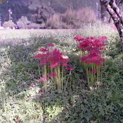 赤い曼殊沙華に秋の葉ひとつ
