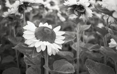 いつも上を向いて希望を感じさせる花…ひまわり