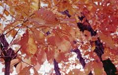 見上げると冬の葉々