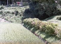 水田と紫陽花