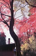 朱をもたらす木々