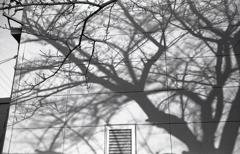 冬桜の陰影