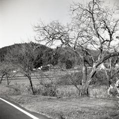 田舎道の残り少ない柿の実の木