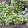 つゆの紫陽花