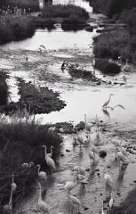 内津川の白鷺