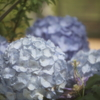 温室の紫陽花