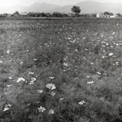 一面のコスモス畑