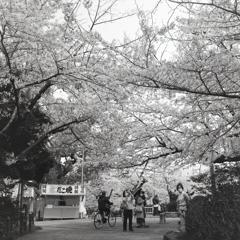満開桜にスマホを向ける人