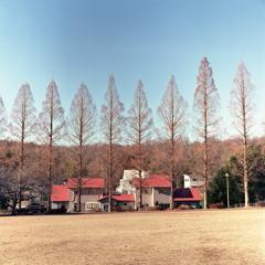 メタセコイアとカーマイン色の屋根