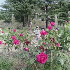 鶴舞のバラ園