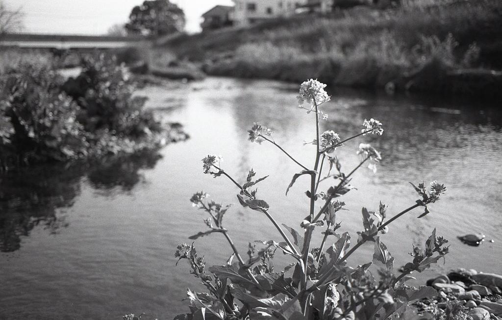 岸辺の菜の花