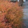 雪柳が赤く染まるころ