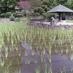 薄い緑の菖蒲池