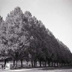 モノクロのメタセコイア並木