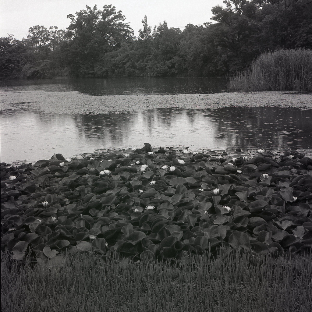 岸辺の睡蓮