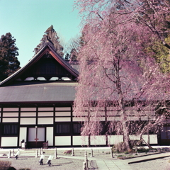 慈雲寺の春(枝垂れ桜)