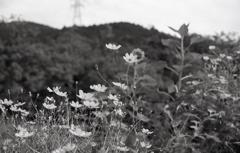 道樹山を背景に…コスモス