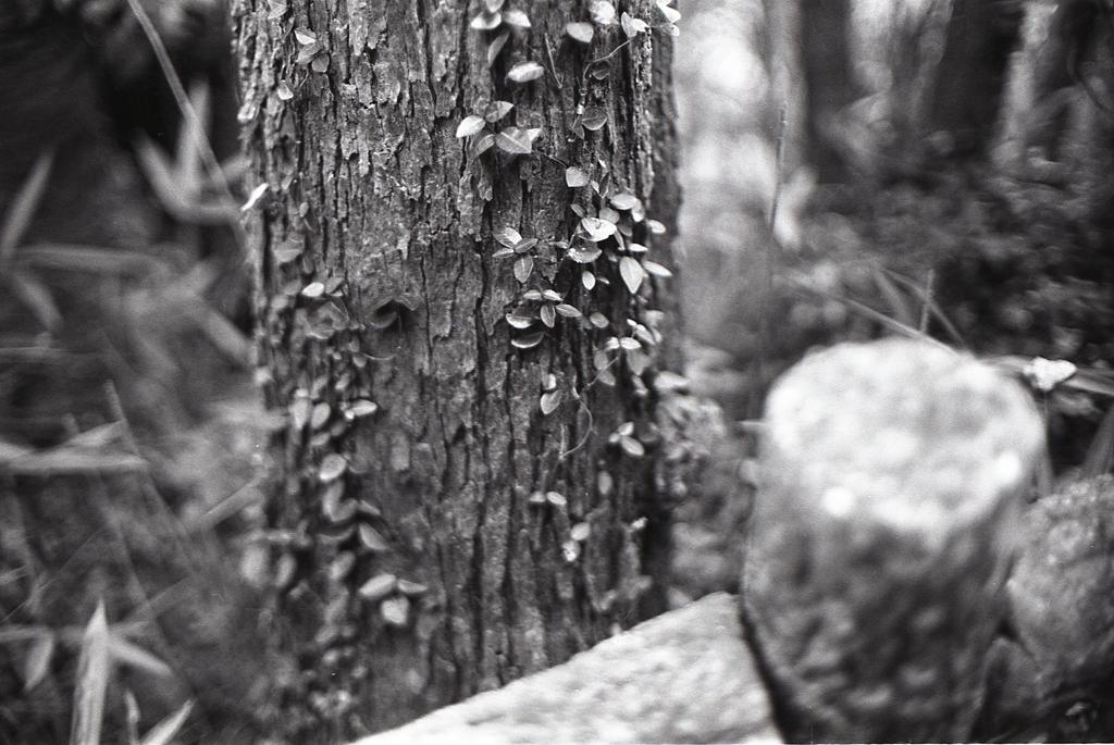 木を這う蔦に目をやり