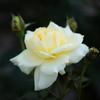 はるガーデン(庭)のバラ