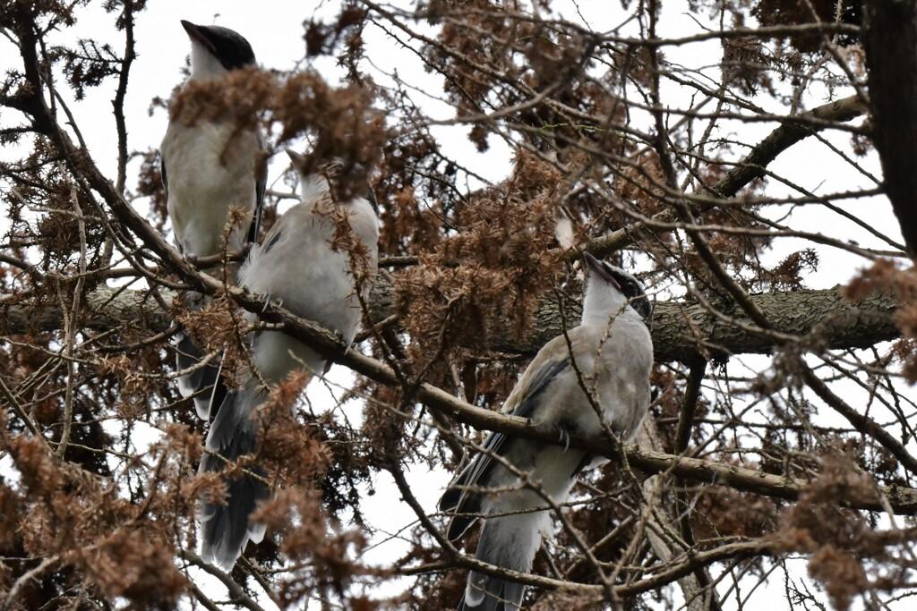 07 尾長幼鳥