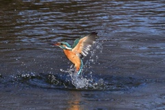 N池のカワセミ1