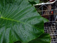 葉っぱで雨宿り