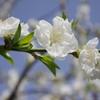 青空に映える白い桃の花